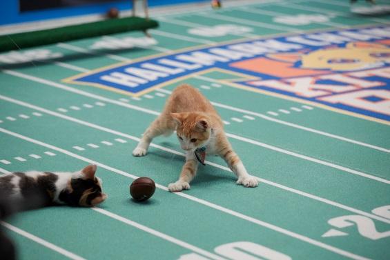 Cat-letes take the field in Port for Kitten Bowl V