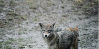There will be a presentation hosted by the Wild Dog Foundation on coyotes. (Photo courtesy of the Great Neck Park District)